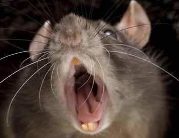 крыса напала на спящую девочку
