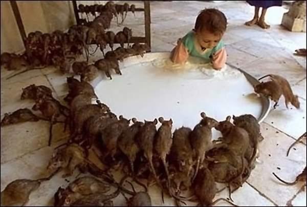крысы напиваются молоком