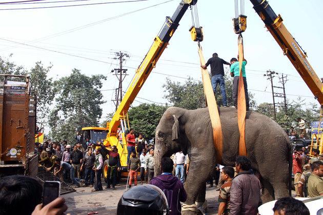 Кран поднимает спящего слона