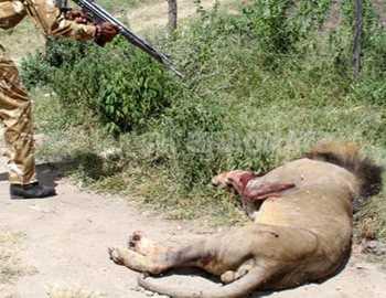 в Кении застрелен лев