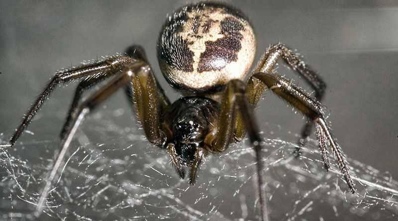 опасный паук в Англии