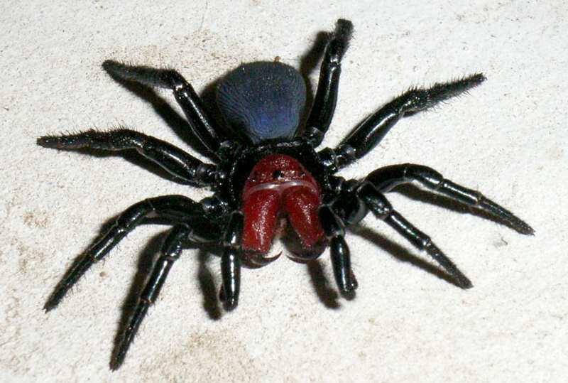 паук Missulena