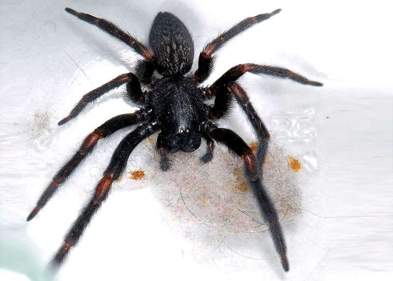 паук-домушник