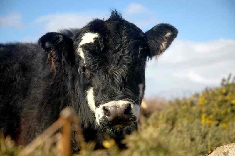 одна из английских коров