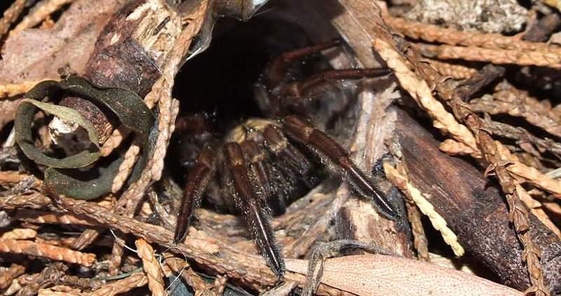паук-ловушечник