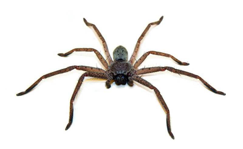 охотящийся паук
