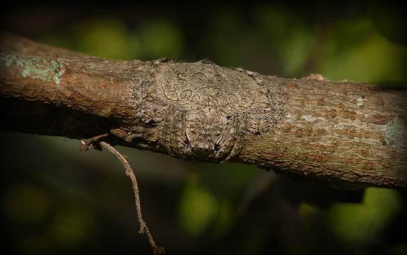 замаскированный паук