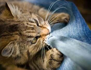 кошка кусает за штанину