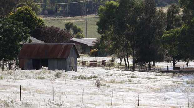 летающие пауки в Австралии