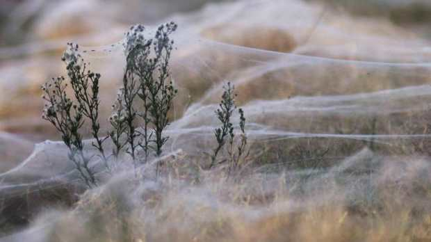 паутина в Австралии