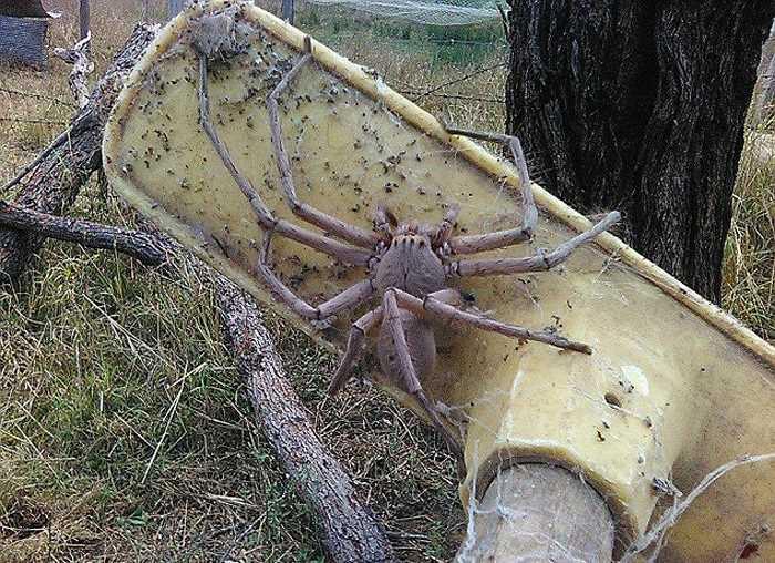 огромный паук-охотник