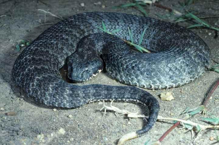 смертельная змея