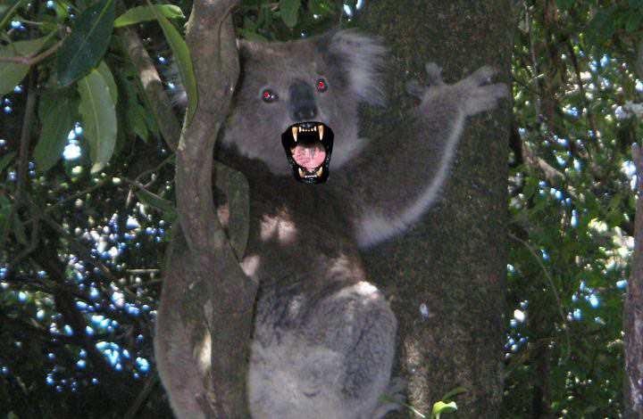 австралийский медведь