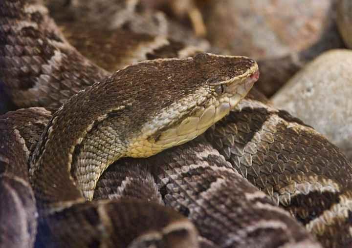 Американские копьеголовые змеи