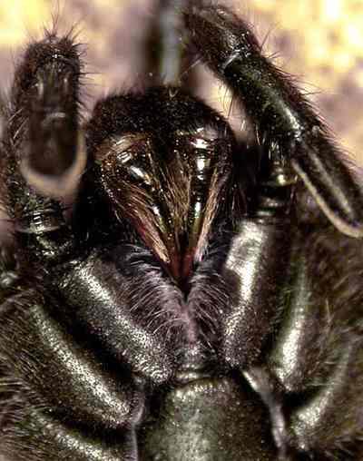 клыки у паука