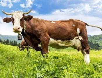 корова защищала девушку