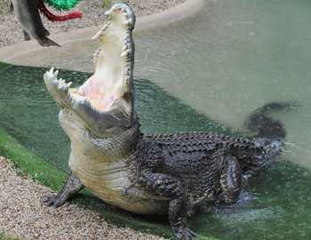 крокодил нападает на женщину