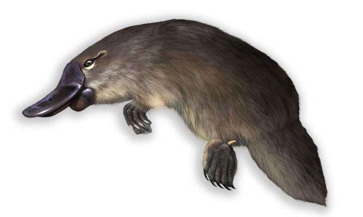 ядовитый утконос