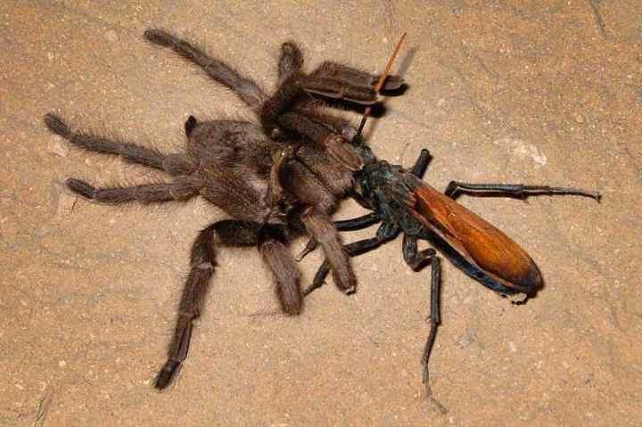 борьба тарантулового ястреба