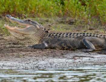аллигатор утащил мальчика