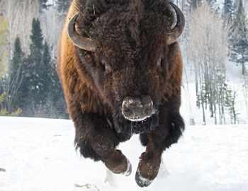 бизон бежит на человека