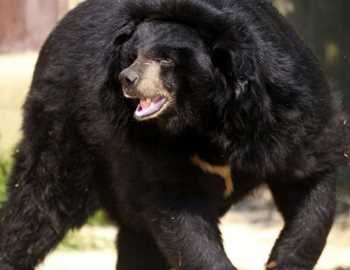 медведь в Японии