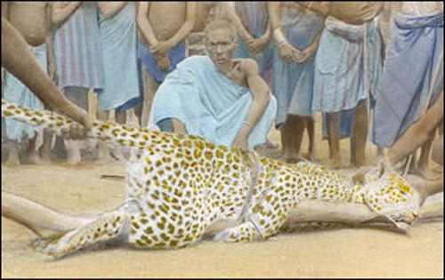 пойманый леопард
