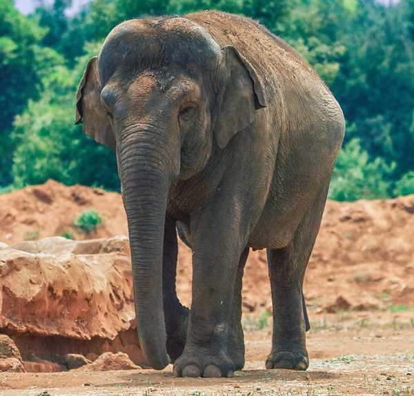 слониха Ассия