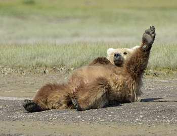 медведь голосует на дороге