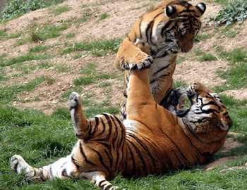 игривые тигры
