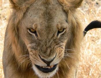лев отомстил за льва