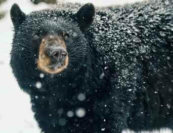 нападения черного медведя
