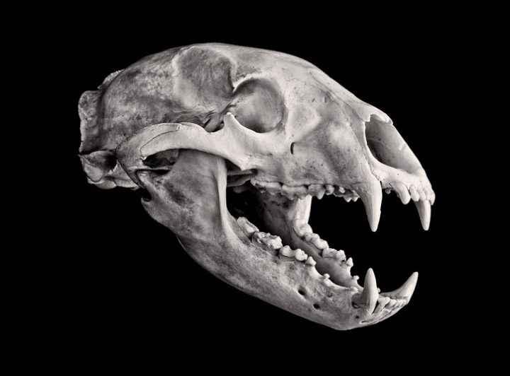http://animaljaws.com/wp-content/uploads/2016/07/skelet-cherepa-chernogo-medvedya.jpg