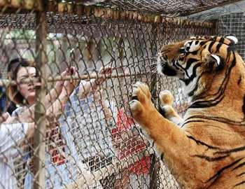 тигры напали на двух женщин