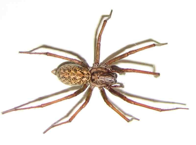 опасный бродячий паук