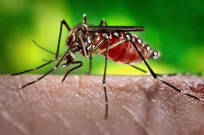 желтолихорадочный комар