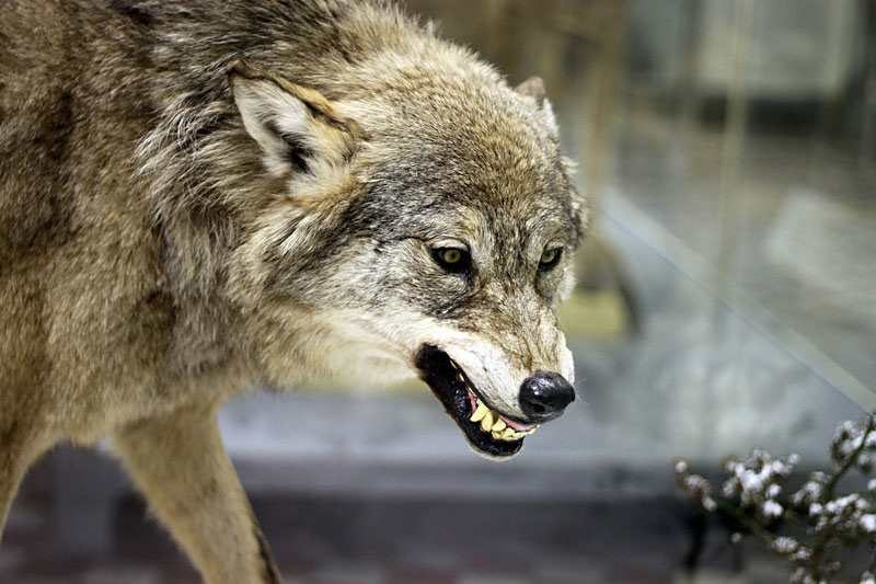 смесь волка с собакой