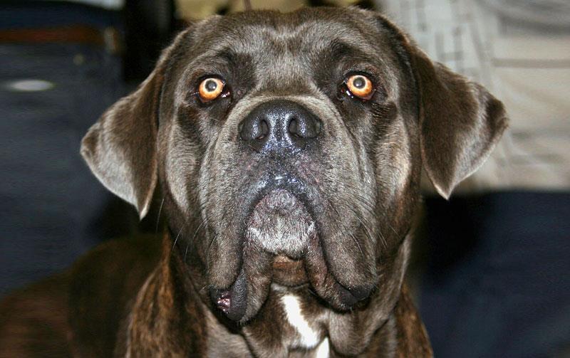 смотрит собака Тоса-ину