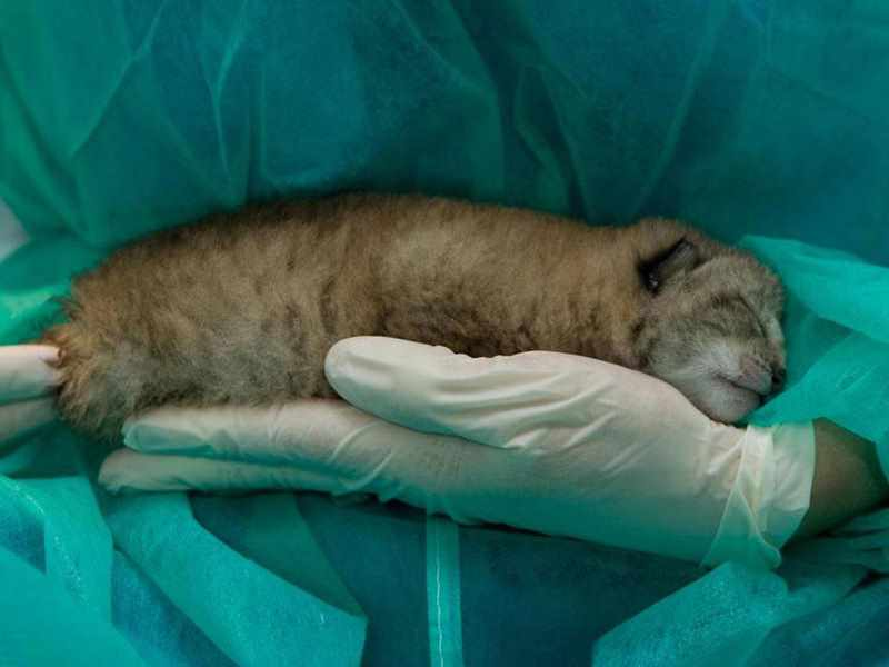 котенок рыси на руках человека