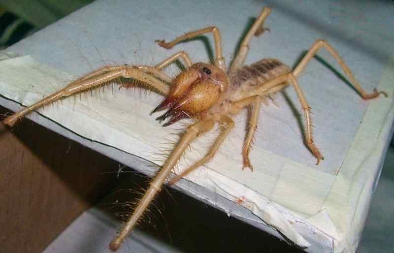опасный верблюжий паук
