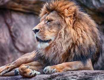 львы напали на сумасшедшего