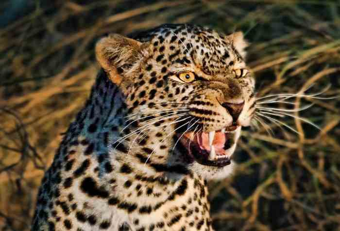 леопард-людоед
