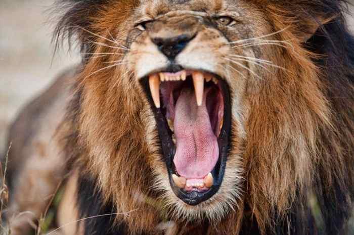 лев в Африке