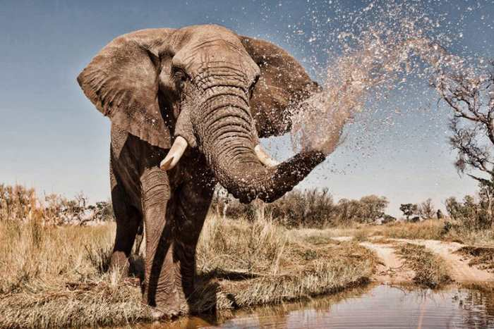 большой слон