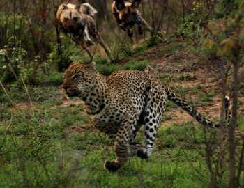 леопард и дикие собаки