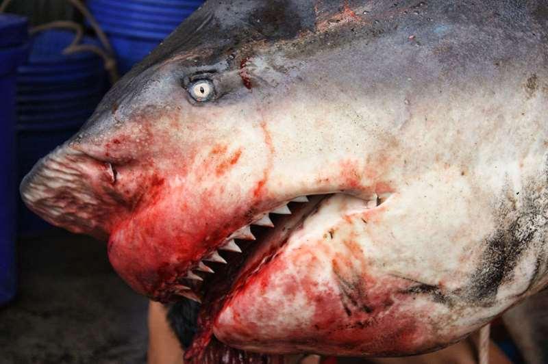 выловленная тупорылая акула