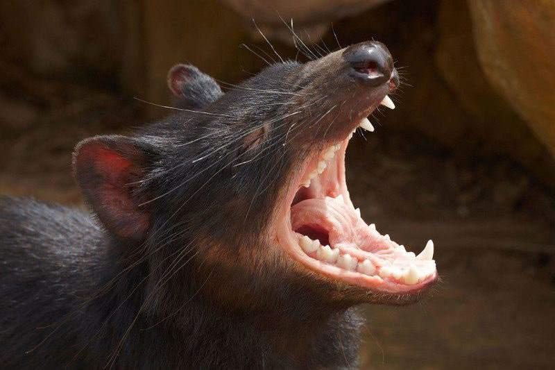 рот тасманийского дьявола