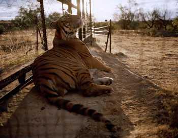 тигр откусил руку