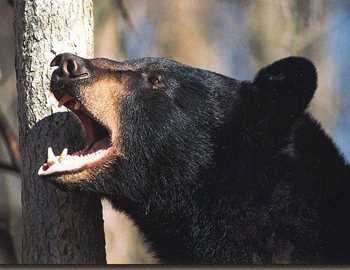 злой черный медведь