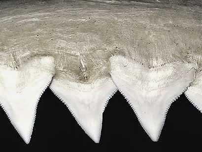 зубы тупорылой акулы